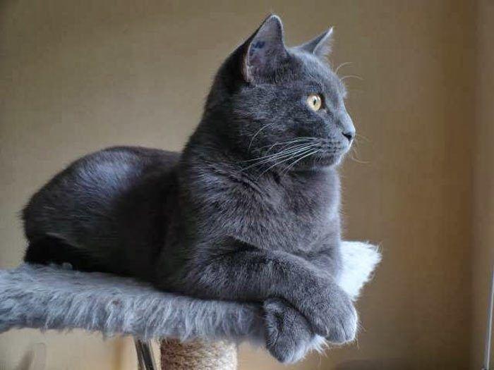 Голубой кот на стойке