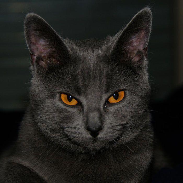 Красивые уши у кота