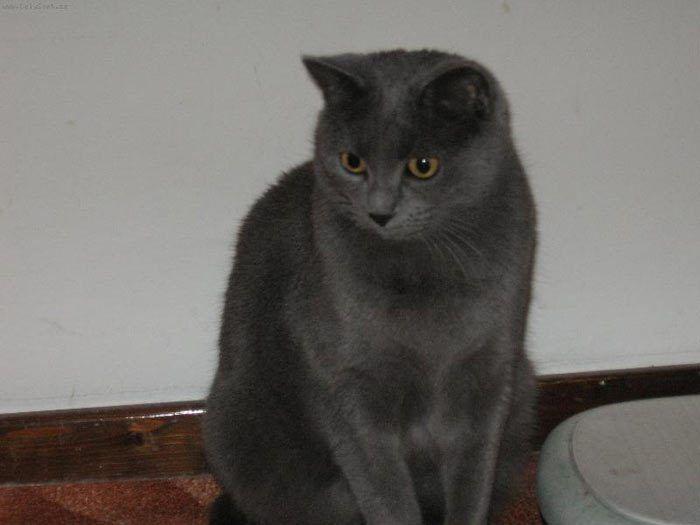 Серый любопытный кот