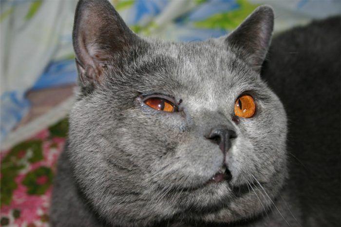 Гноятся глаза у кота
