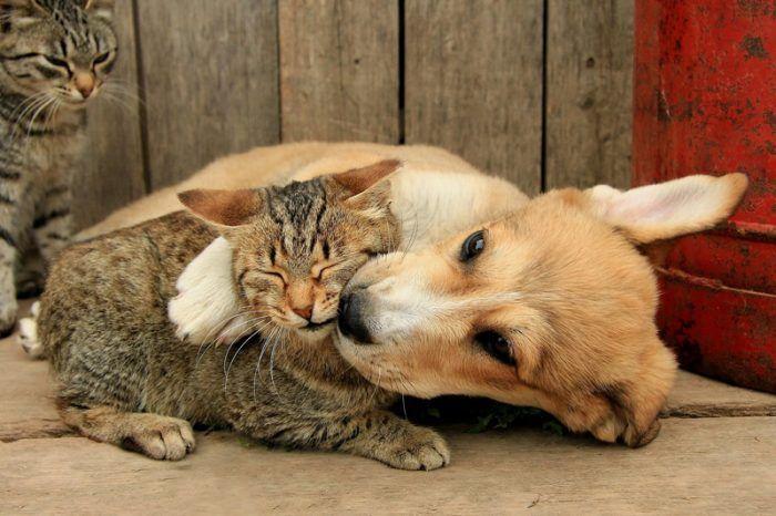Взрослая кошка и щенок