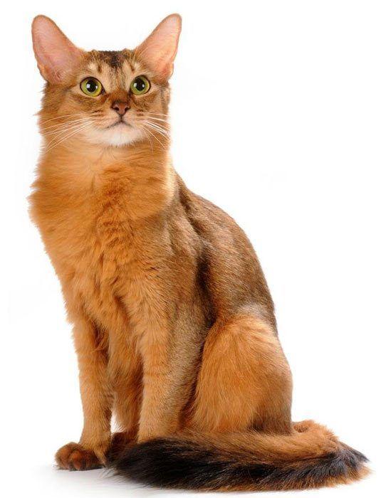 Красивая сомалийская кошка