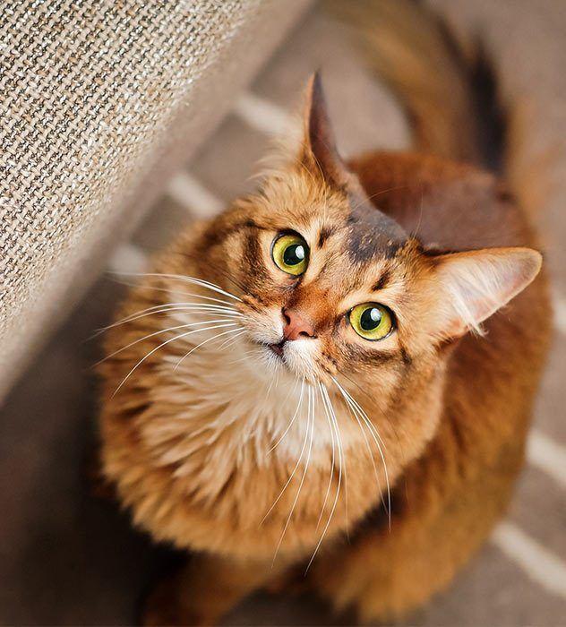 Сомалийский кот смотрит в камеру