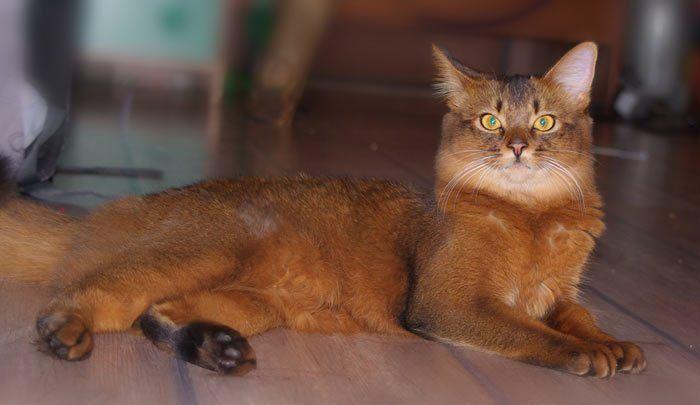 Сомалийский кот удивился