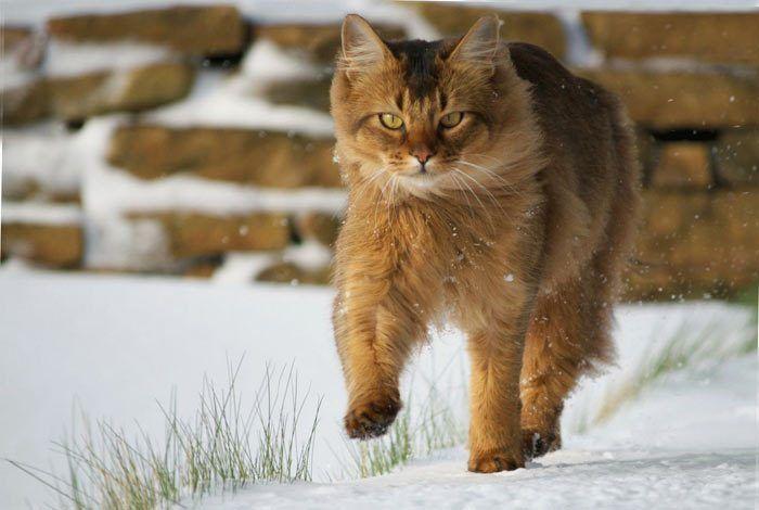 Кот в снегу шагает