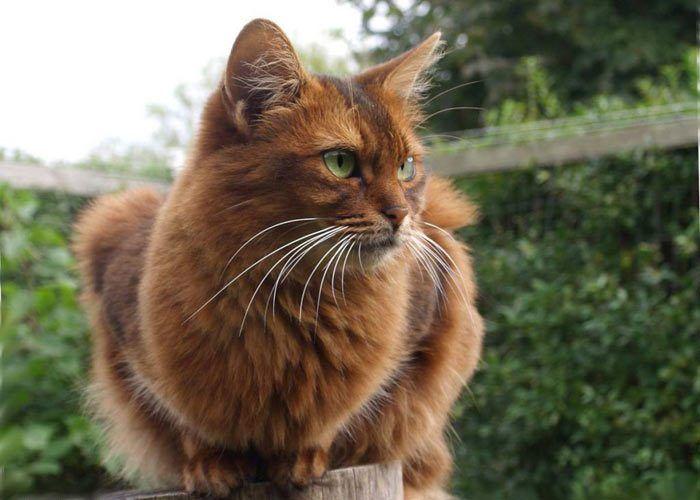 Рыжий взволнованный кот