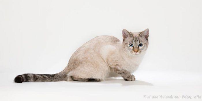 Тайская кошечка