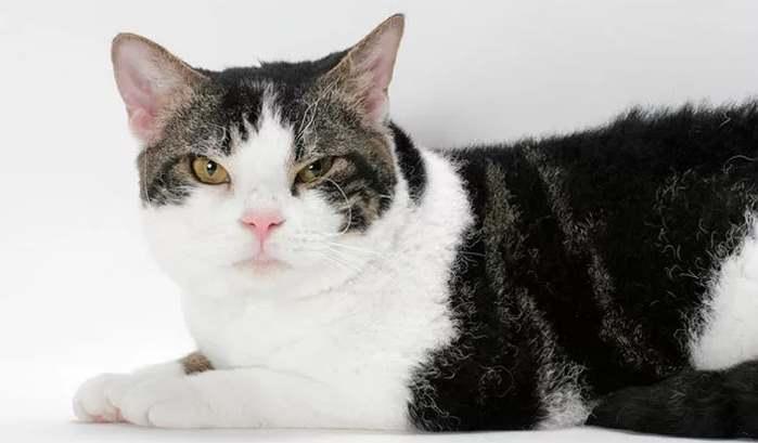 Желтоглазый кот