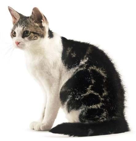 Жесткошерстный котик