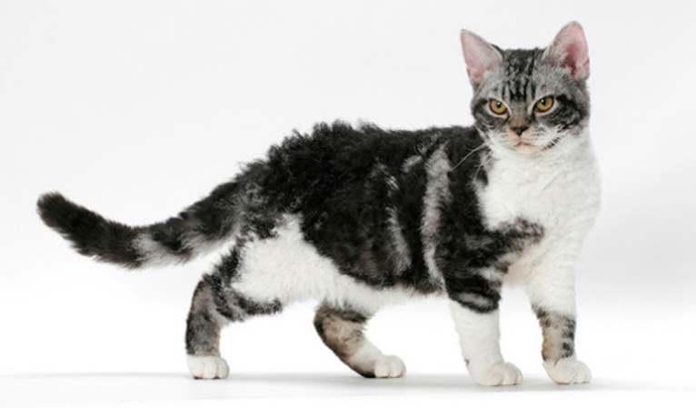 Волосатый кот