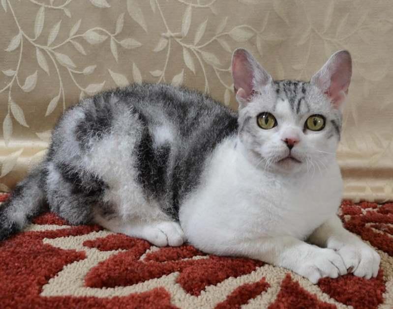 Белый с серым кот