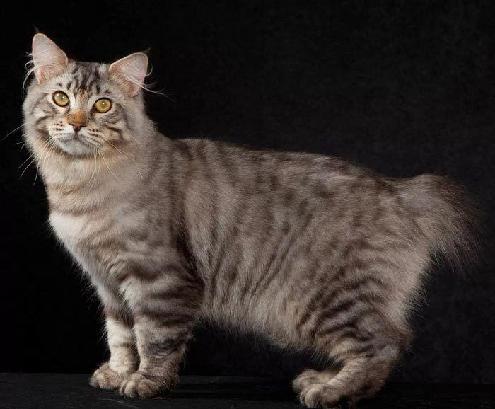 Кот с очень коротким хвостом