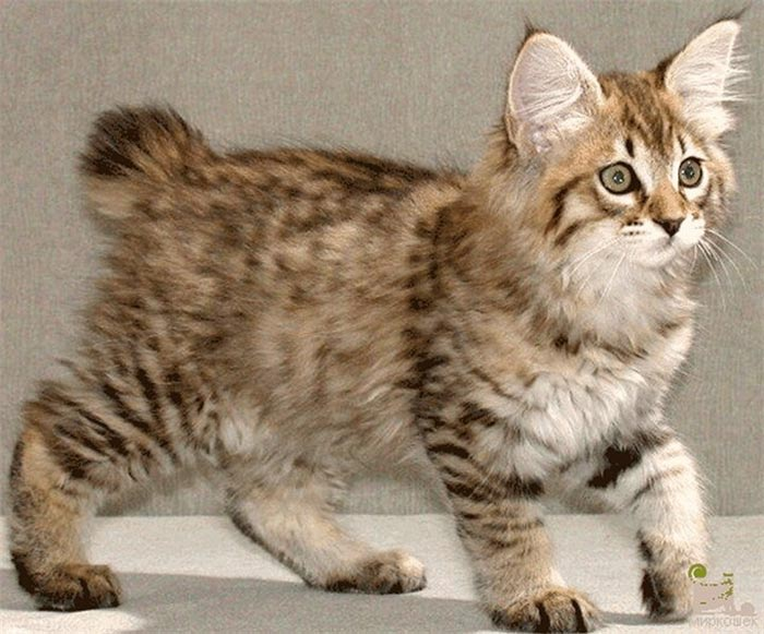 Котенок с кисточками на ушах