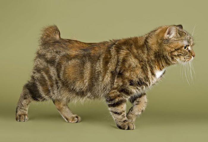 Пушистый полосатый котик