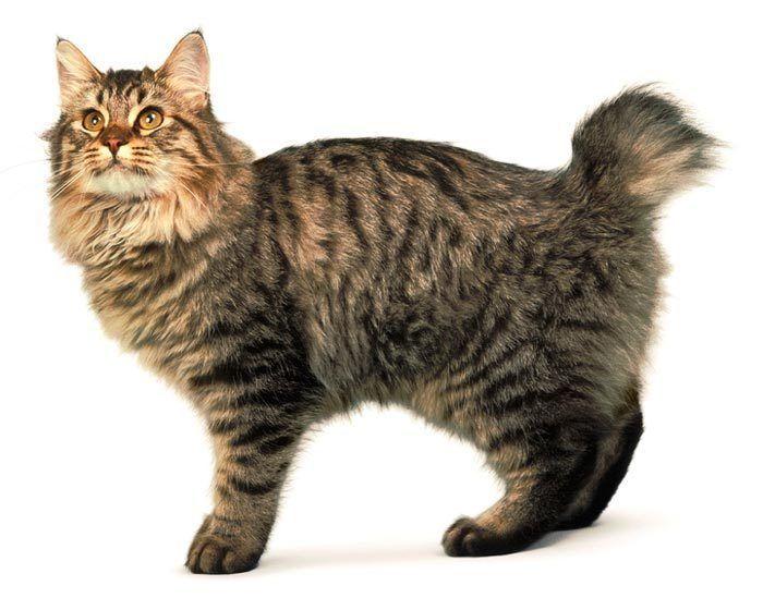 Кот бобтейл