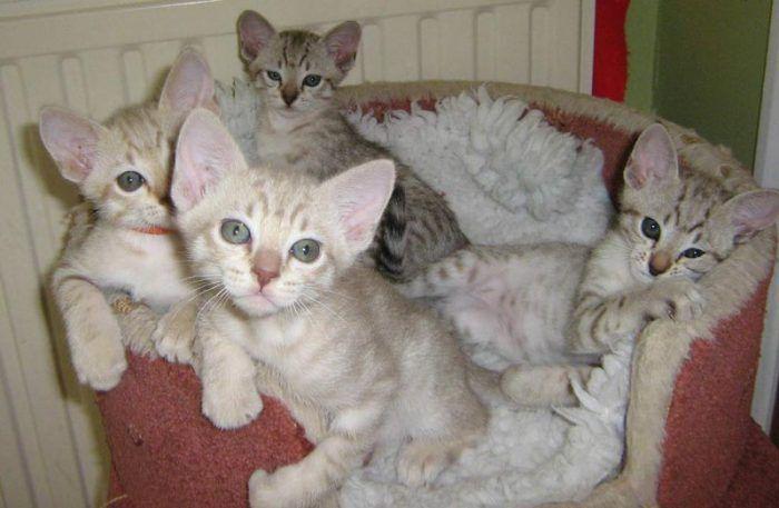 Котята австралийского миста