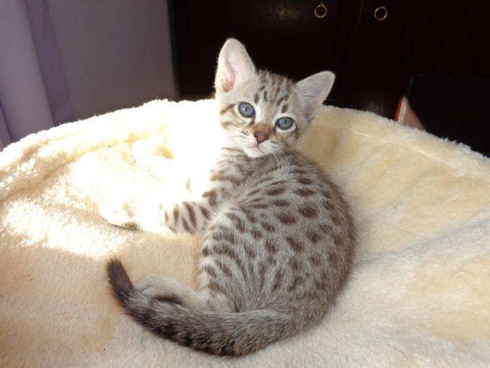 Котенок мист