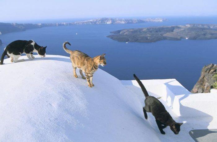 Кошки ходят по крышам
