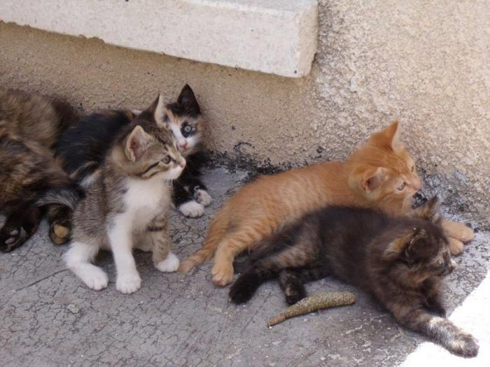 Котята эгейской породы
