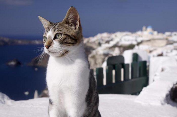 Эгейская кошка