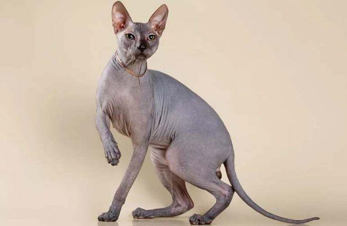 Голая кошка