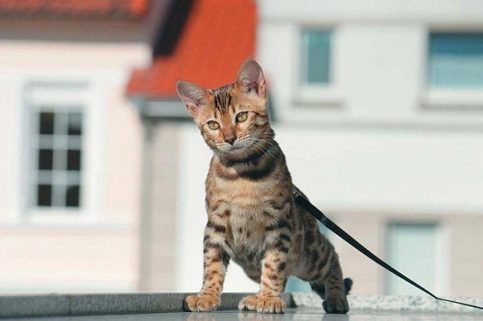 Кот на поводке гуляет