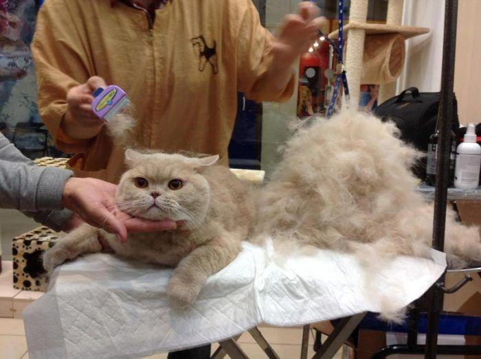 Кошку вычесали у ветврача