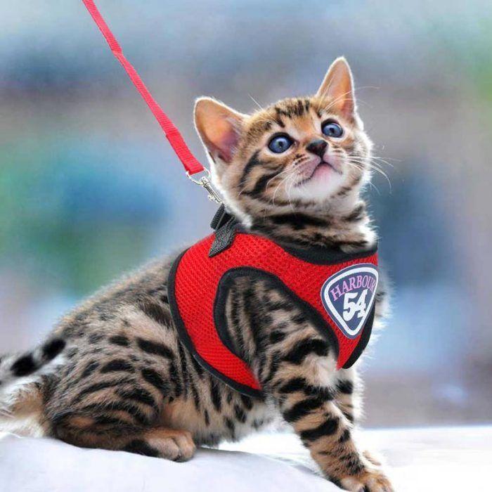 Котенок на красной шлейке