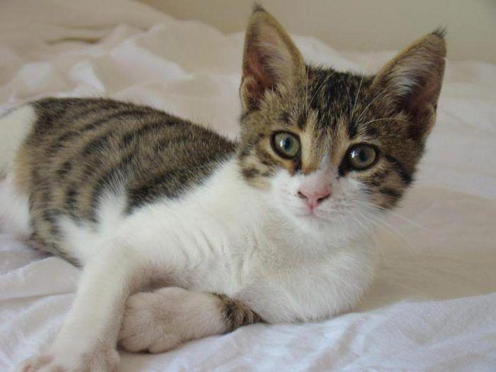 Котенок эгейской кошки