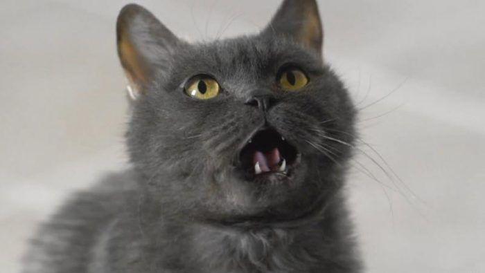 Зубки у котенка