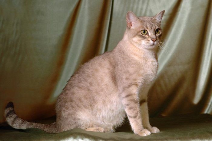 Кошка породы австралийский мист