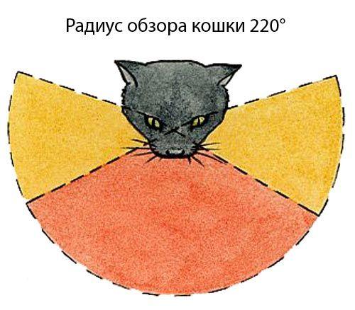 Радиус обзора кошки
