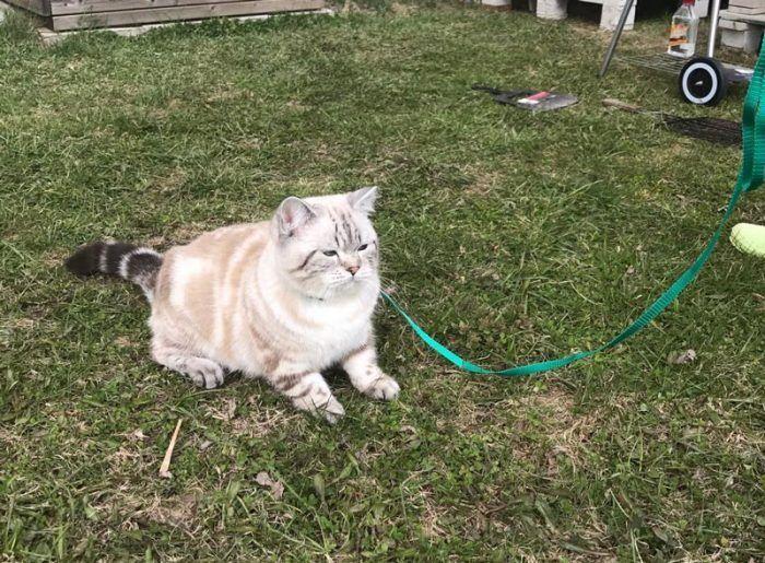 Толстый кот в шлейке