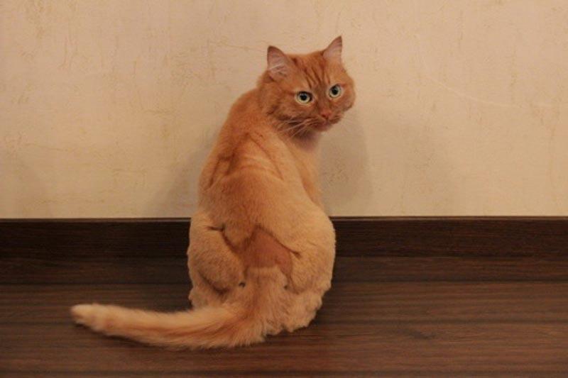Стрижка котов плюсы и минусы процедуры