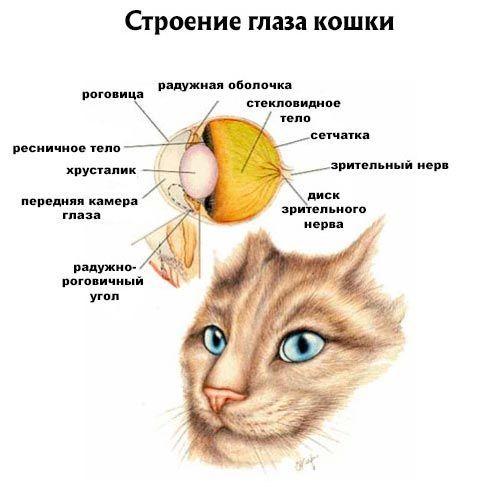 Как устроен глаз кошки