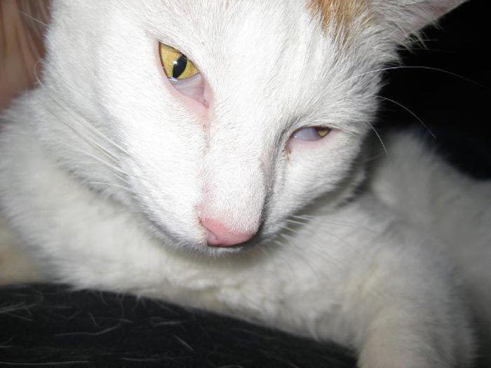 Белый кот с розовым носом