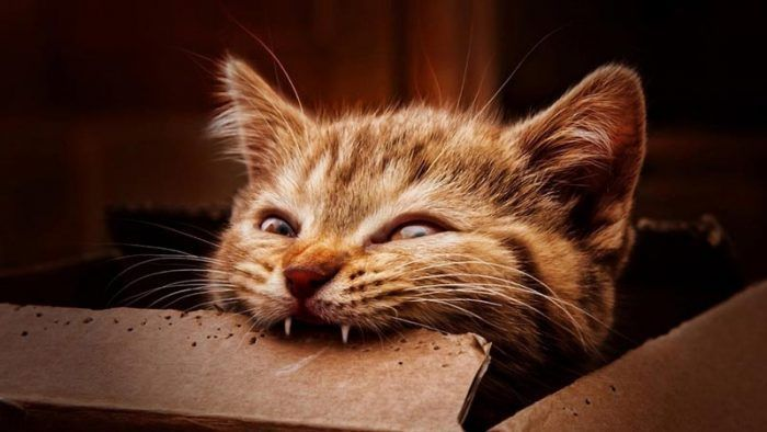Рыжий кот кусает коробку