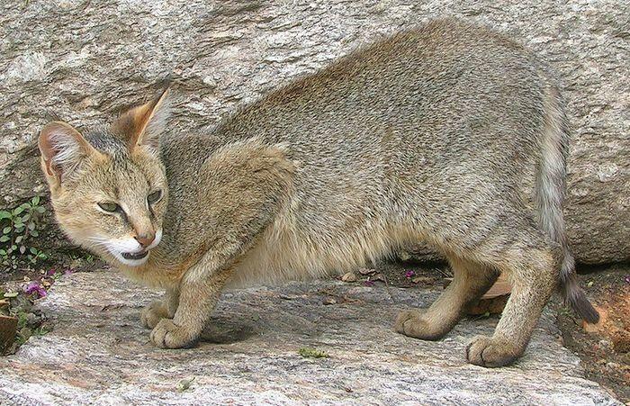 Кот Felis chaus affinis