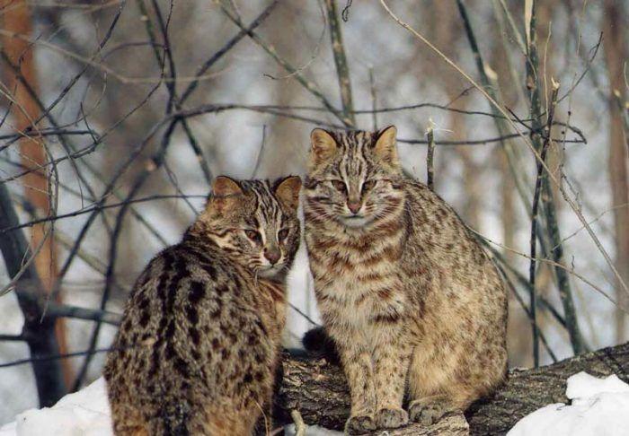 Два лесных кота