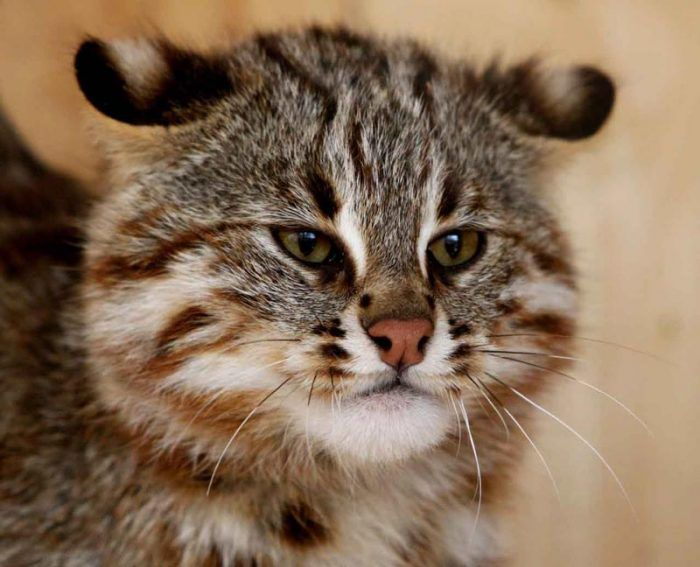 Милый лесной кот