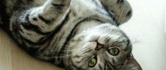 Мраморный окрас у кошки