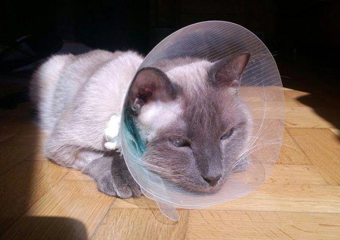 Серый кот в воротнике