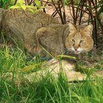 Большой болотный кот