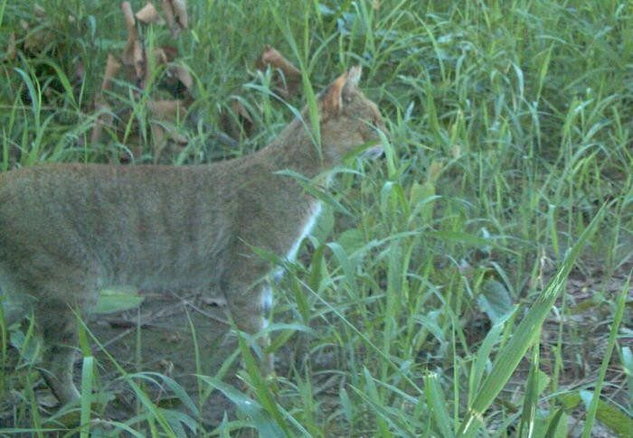 Felis chaus fulvidina в траве