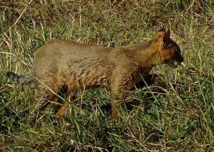 Крадется Felis chaus kelaarti