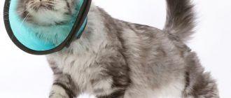 Кошка в воротнике
