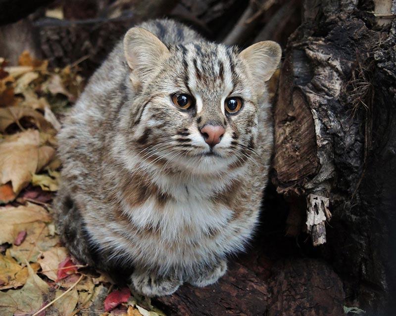 Амурский лесной кот – хищник немногим больше домашней кошки. Амурский лесной кот (дальневосточный, леопардовый): описание породы, образ жизни и характер Видео: амурский лесной кот в природе