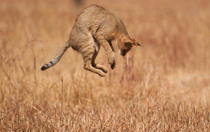 Кот Felis chaus kutas