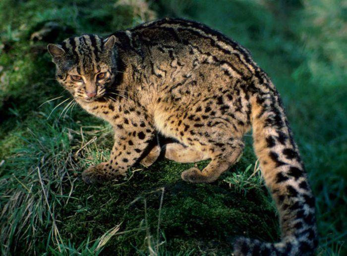 Взрослая мраморная кошка
