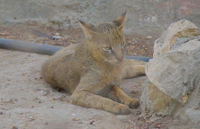 Кот Felis chaus nilotica